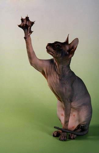 котята донской сфинкс фото