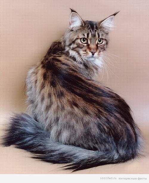 Мейн кун мейн кун порода кошки